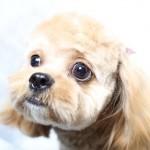 シーズー犬